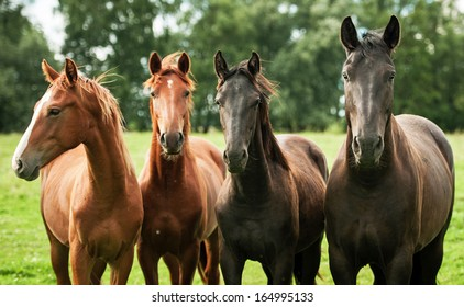Four young horses on the pasture