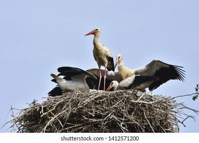 four young storks ready for first flight