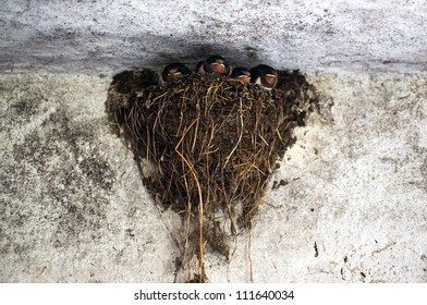 Four young swallow fledglings in their nest