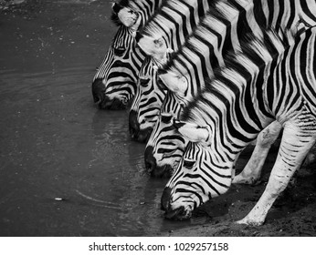 Four zebras aligned and drinking water.