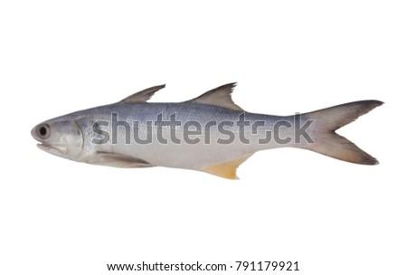 fourfinger-threadfin-fish-isolated-on-45