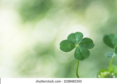 Four-leaf clover in the shade