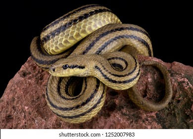 Four-lined snake (Elaphe quatuorlineata)