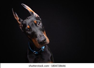 four-month old Doberman puppy posing in a studio on black background