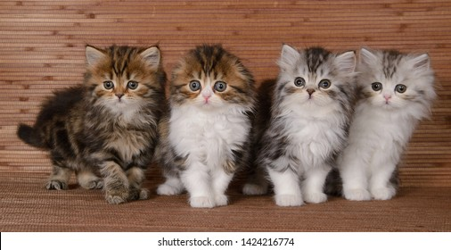 Foursome beautiful big furry kitten on a woody background