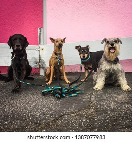 Foursome of dogs in front of a pink wall smiling