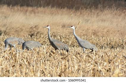 Foursome of north american sandhill cranes feeding thru a freshly cropped grain field.