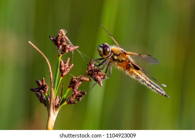 The four-spotted chaser (Libellula quadrimaculata), known in North America as the four-spotted skimmer dragonfly, Cotswold Water Park, UK