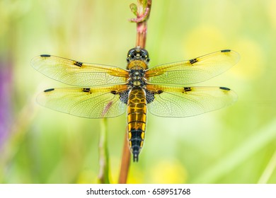 The four-spotted chaser (Libellula quadrimaculata), known in North America as the four-spotted skimmer, is a dragonfly of the family Libellulidae found frequently throughout Europe, Asia.