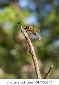 Four-spotted Chaser (Libellula quadrimaculata) resting on a branch of a Shrub in a Dune Valley