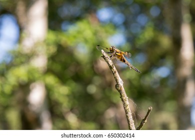 Four-spotted Chaser (Libellula quadrimaculata) resting on a branch of a Shrub in a Dune Valley, full size photo