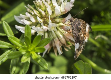 A four-spotted moth on white clover