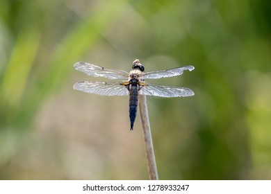 four-spotted skimmer on a culm