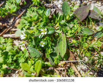 Fourstamen chickweed or sea mouse-ear, Cerastium diffusum, growing in Galicia, Spain
