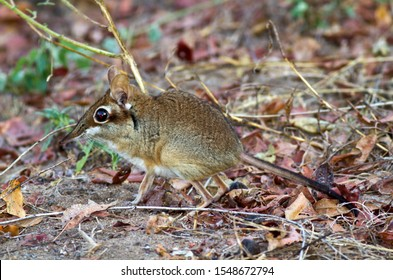The Four-toed Elephant Shrew or Sengi is a diminutive but extremely active hunter of invertebrates running along the regularly patrolled and cleared pathways in it's territory in search of food