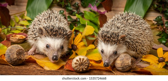 Four-toed Hedgehog (African pygmy hedgehog) - Atelerix albiventris funny autumnal picture