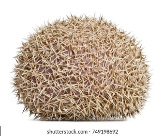 Four-toed Hedgehog, Atelerix albiventris, 2 years old, in front of white background