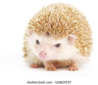 Four-toed Hedgehog, Atelerix albiventris, balled up in front of white background