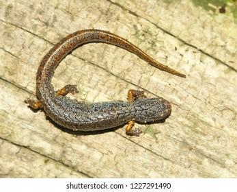 Four-toed Salamander (Hemidactylium scutatum) in central Illinois