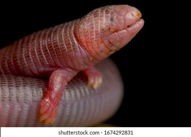 Four-toed Worm Lizard (Bipes canaliculatis)