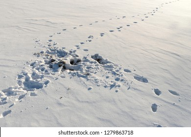 Fox attack traces on the mouse during the hunt in winter. The consequences of an attack on a rodent. The behavior of animals in their natural habitat.