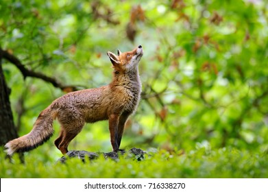 Fox with beatiful forrest background
