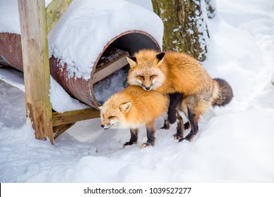 Fox breeding (animal breeding) which is male and female were mixed breed each other. Every February is Mating season