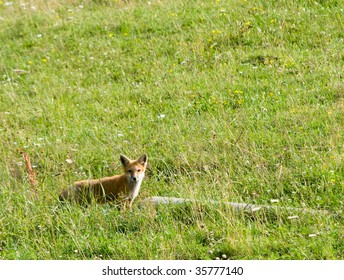 fox by log in a field of wildflowers and grasses