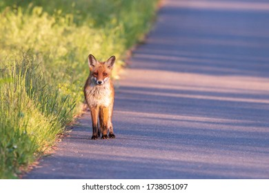 A fox by the roadside