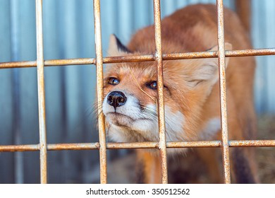 fox in the cage sticks his nose through the bars
