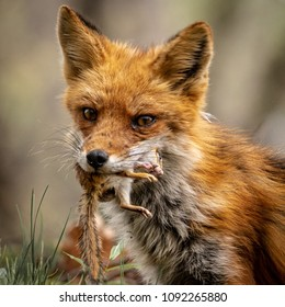 Fox carrying a chipmunk in its mouth.
