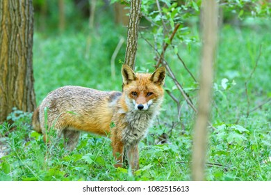 A fox with a cloudy eye looking for food in the forest