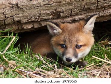 fox cub in English countryside