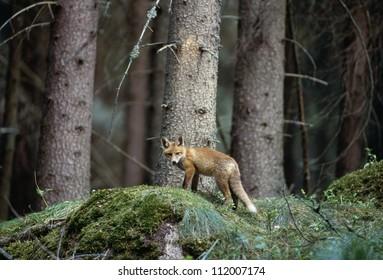 Fox cub in forest