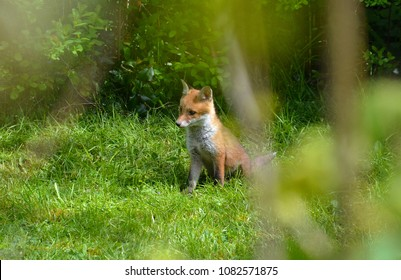 a fox cub hanging out in a garden in England