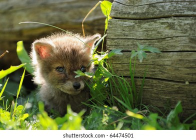 Fox cub  has got lost in the village and hides in the grass puppy  Fuchs Welpe