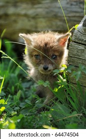 Fox cub  has got lost in the village and hides in the grass Fuchs Welpe