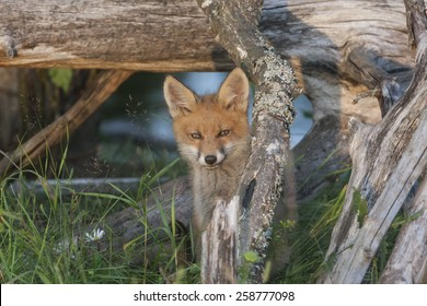 Fox cub hides under the fallen tree in the environment characteristic for woods, forests, and parks. Fox specie is Vulpes vulpes, native in the North America, USA, UK, Eurasia, North Africa. Baby fox.