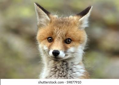 fox cub near his lair