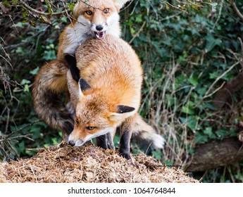 Fox Cubs in I.O.W