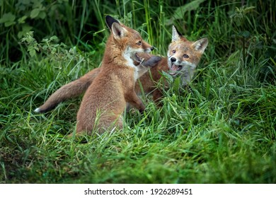 Fox cubs playing on the grass, close up in Scotland, uk, in the springtime