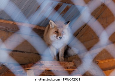 A fox, a cute, frightened animal with sly, intelligent eyes, is standing in a cage