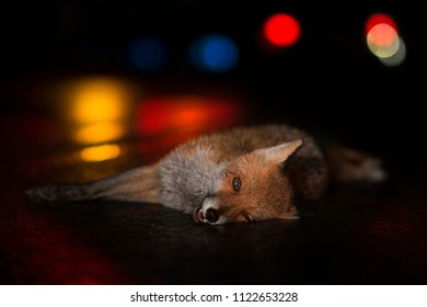 Fox dead in an accident on a wet road in the night