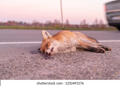 A fox dead at the roadside