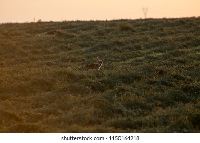 Fox dog and vixen at sunrise