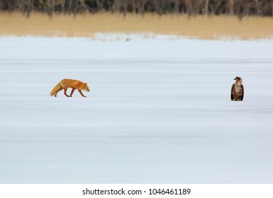 Fox and eagle