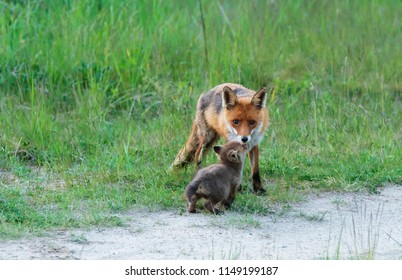 Fox family , puppy begging the vixen for food