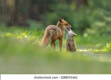 fox family, fox with puppy in green forest, cute foxes