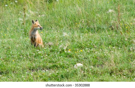 fox in  field of wild flowers and grasses looking into camera