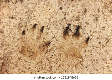 Fox footprint in a sand. Wild animal footmarks. Close-up